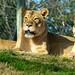 "<p><a href=""https://www.flickr.com/people/lpetterborg/"">lpetterborg</a> posted a photo:</p>  <p><a href=""https://www.flickr.com/photos/lpetterborg/50903658272/"" title=""Lions""><img src=""https://live.staticflickr.com/65535/50903658272_bdefc03762_m.jpg"" width=""240"" height=""108"" alt=""Lions"" /></a></p>  <p>OLYMPUS DIGITAL CAMERA</p>"