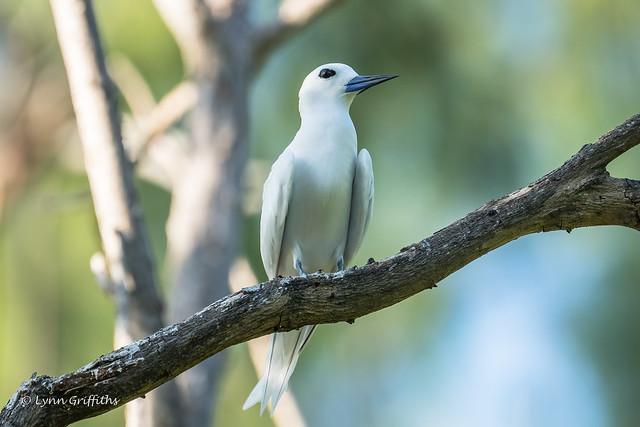 Fairy Tern 501_8665.jpg