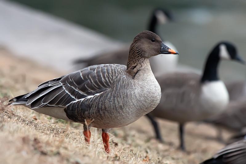 Rare Goose