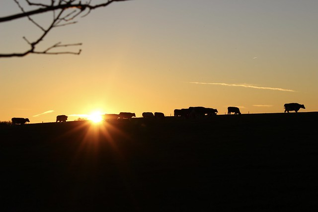Golden Cows at sunset on the Deldense Esch