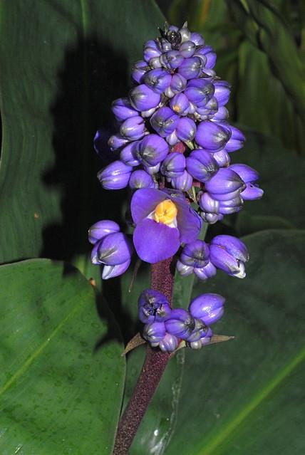 Dichorisandra thyrsiflora  Brésil Sud-Est