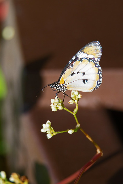 common tiger (Danaus genutia) - Entopia Butterfly Farm - Teluk Bahang, Penang Island, Malaysia