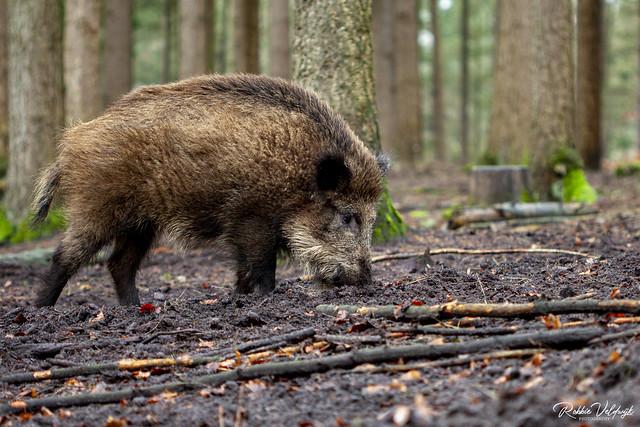 Boar looking for food