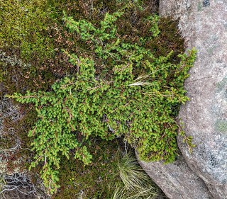 Cul Beag 13 mountain Juniper | by raspberry gray