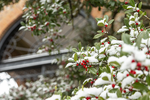 Scenes from a snow day: holly berries