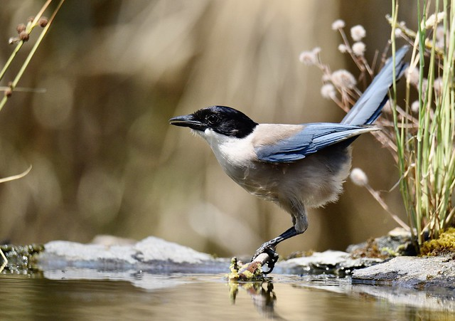 Pêga-azul, Iberian Azure-winged Magpie