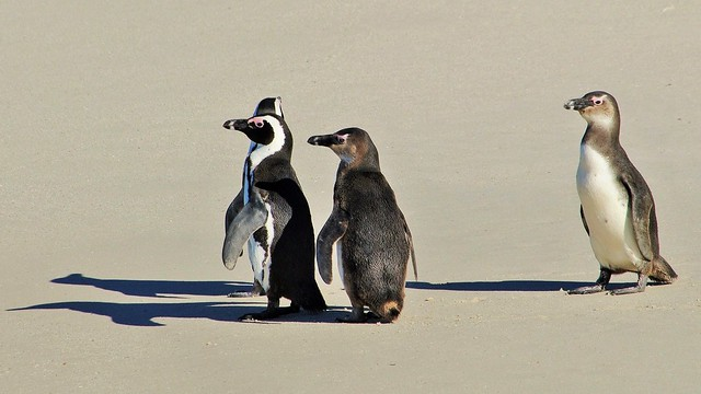 African Penguins a/k/a Jackass Penguins On The Beach (Spheniscus demersus)