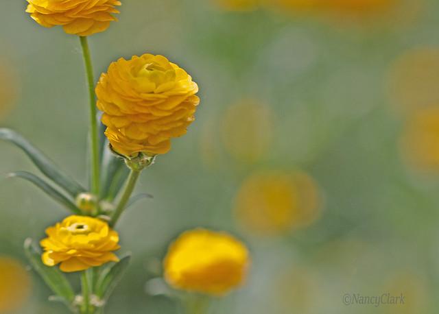 Little yellow sunshines