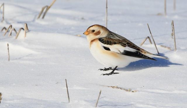 Snow Bunting / Plectrophane des neiges ( Diane )