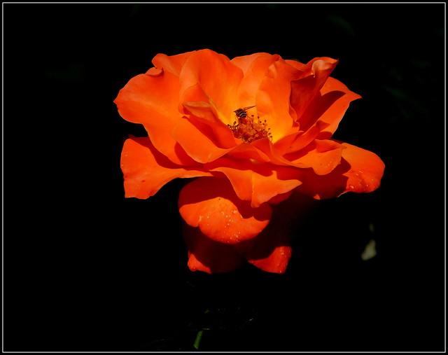 Jesienna róża * EXPLORE