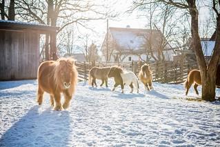 Wintertraum für die Ponies