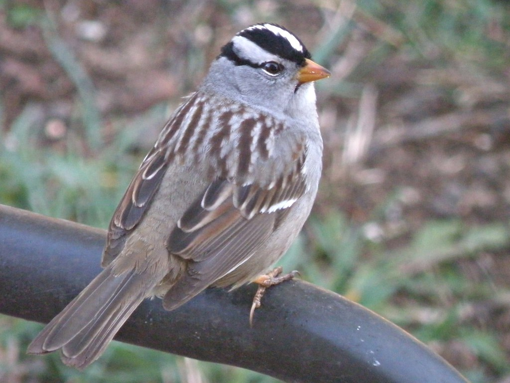 P4096913...white-crowned sparrow