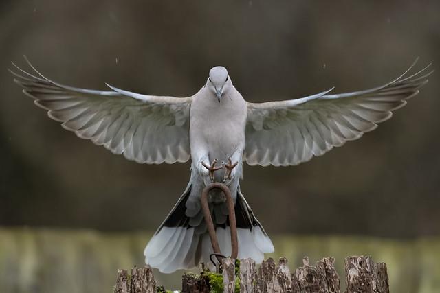 Collard Dove Landing Feb 2021