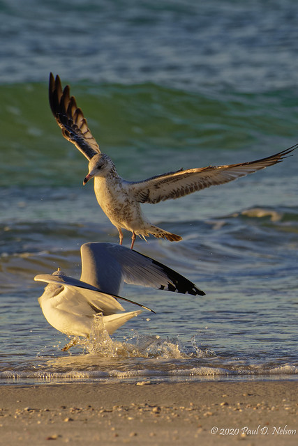 _PDN7583_Ring-billed Gulls, Navarre Beach, Florida