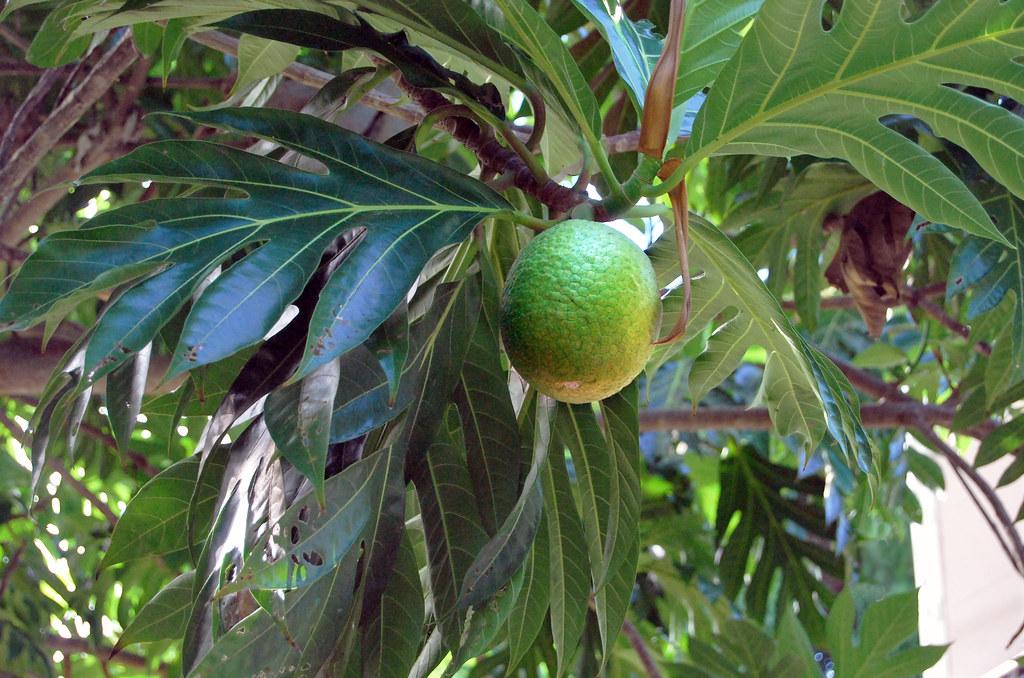 Breadfruit (Artocarpus altilis), Praslin Island, Seychelles