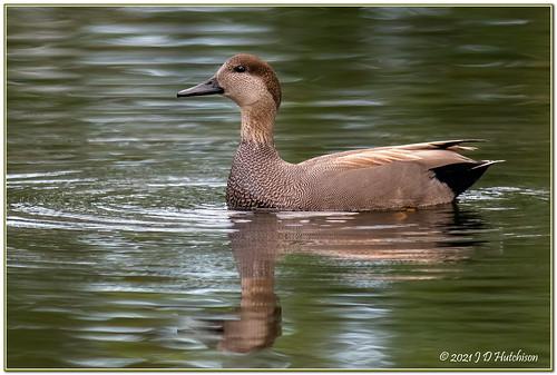 gadwallduck duck ducks waterbirds waterbird