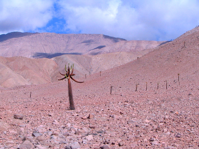 Cactus Candelabro - a big plant in the desert