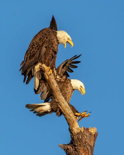 outdoor raptor flight dennis adair tierra verde sky nature wildlife 7dm2 7d ii ef100400mm canon florida bird beaks