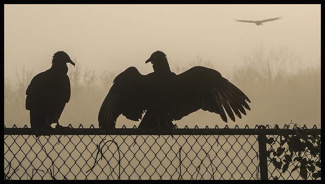 St Johns River #7 2021; Vultures at Hontoon Island