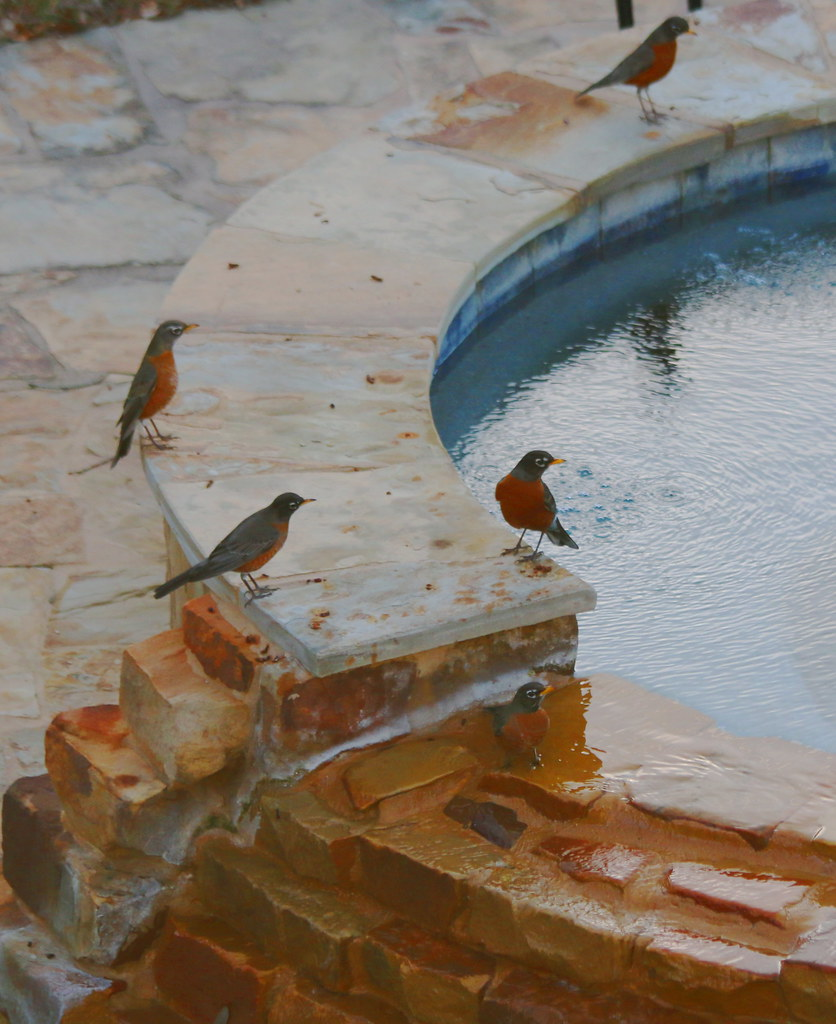 American Robins Practice Social Distancing
