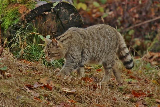 Wild Cat - Wildkatze