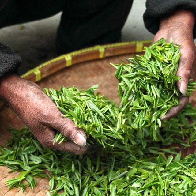 Hojas de té recién recogidas