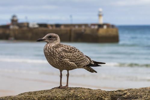 seagull stives cornwall smeaton'spier england uk sea seaside seafront canon 80d 70200mmf4lis