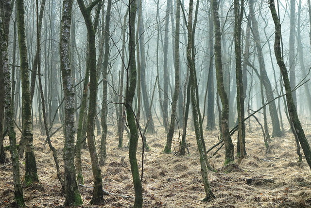 dance of the birch trees in the fog