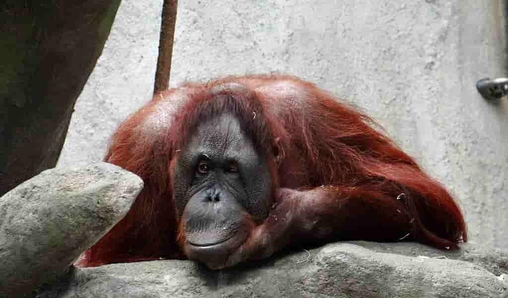 Les orangs-outans changent la façon de communiquer en captivité