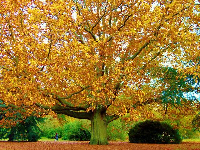 19_KEW-Champion Red Oak Tree (8.01MB)