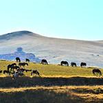 Verso Castelluccio di Norcia - I Cavalli al pascolo