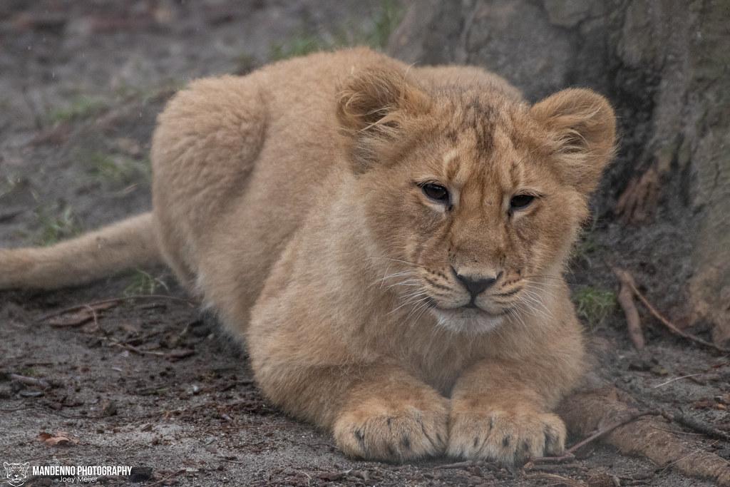 Asiatic Lion Cub - Blijdorp/Rotterdam Zoo - The Nehtelands