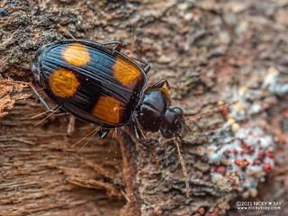 Ground beetle (Dolichoctis tetracolon) - P1303613