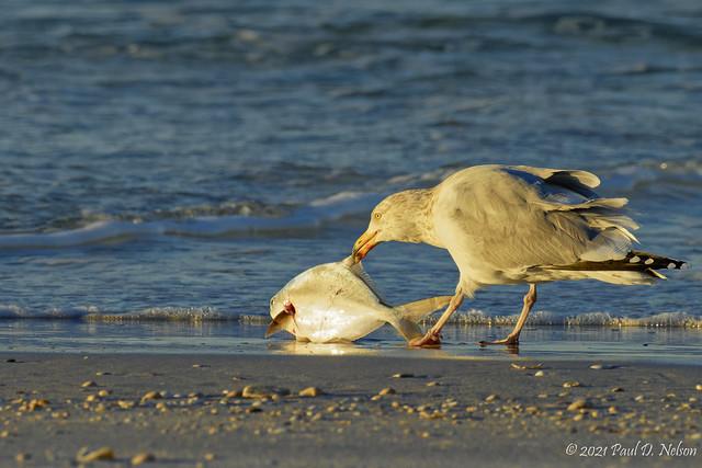 _PDN7611_Ring-billed Gull having breakfast; Navarre Beach, Florida