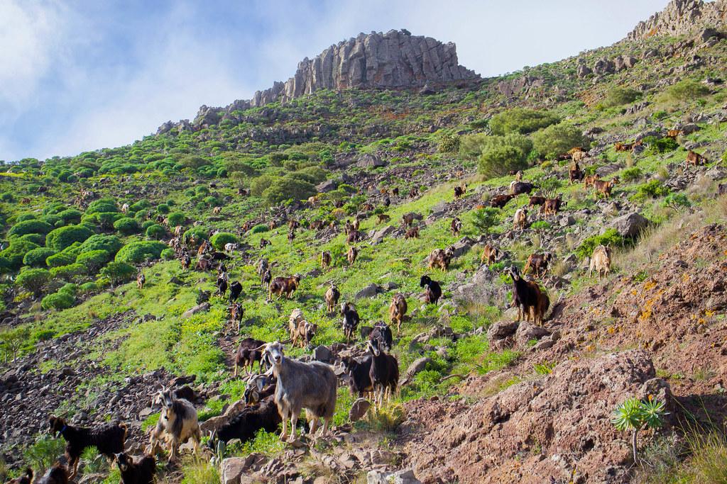 Rebaño de cabras en Teno
