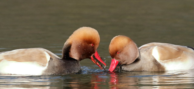 Red-crested Pochard (Netta rufina) ♂
