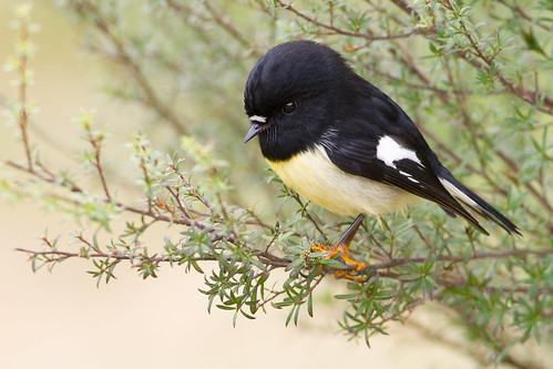 A very confiding male tomtit photographed at Orokonui Ecosanctuary. Photographer Paul Sorrell