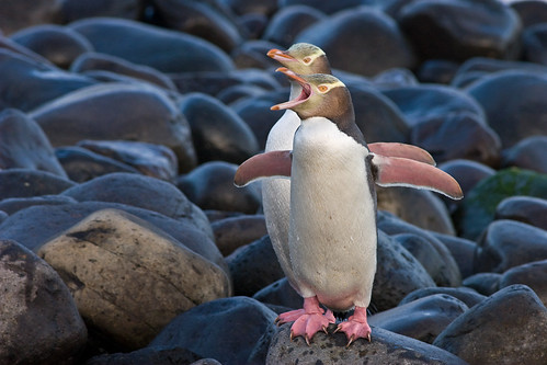 Yellow-eyed penguins make landfall at a beach on Otago Peninsula. Sadly, these charismatic seabirds are declining in numbers. Photographer Paul Sorrell