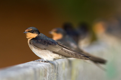 Welcome swallows rest on a footbridge in gentle evening light. Photographer Paul Sorrell