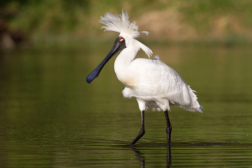 This royal spoonbill is having a bad hair day at my local wetland. Photographer Paul Sorrell
