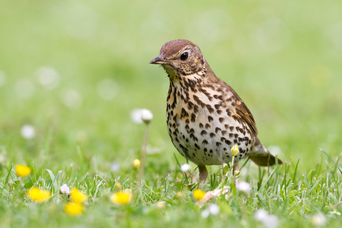 A song thrush hunting among buttercups and daisies in a local park. Photographer Paul Sorrell