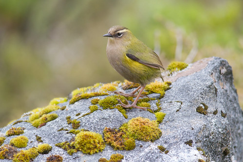 A rock wren in its alpine home. Gertrude Valley, Fiordland National Park. Photographer Paul Sorrell