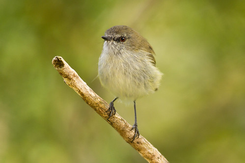 A tiny grey warbler photographed out my bedroom window. Photographer Paul Sorrell