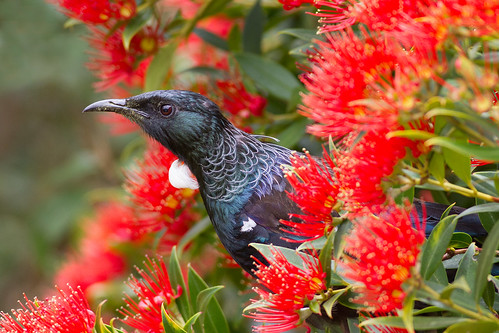 A tui pauses from feeding on native rata flowers. Photographer Paul Sorrell