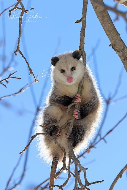 Opossum_2021_02_03_006cropsm; - Copy