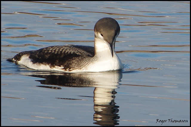 Black-throated Diver [Gavia arctica]
