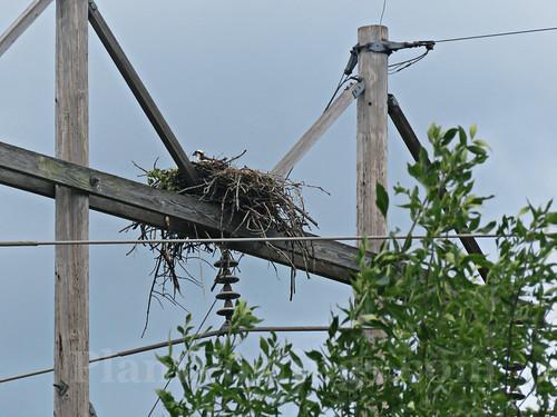 ospreys 4