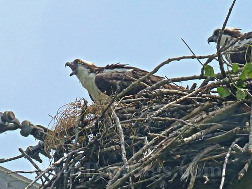 ospreys 3