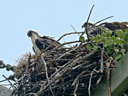 ospreys 2