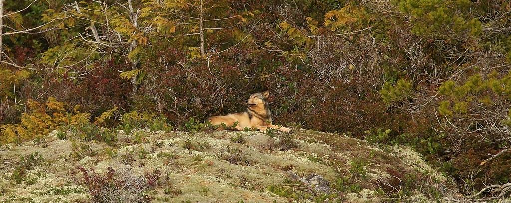 Coastal Wolf on Bligh Island